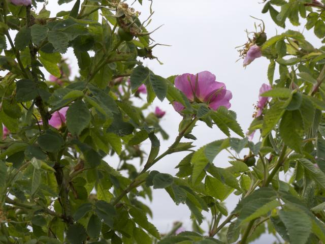 Wild roses briars
