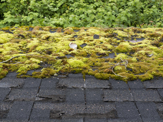 Mossy roof tiles in the rainforest