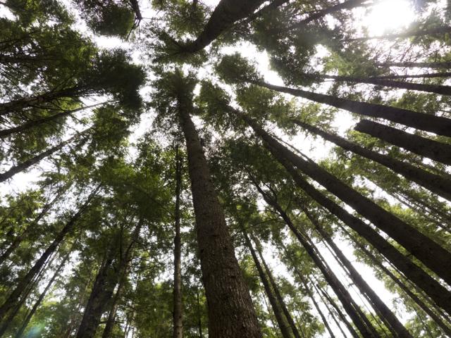 Tall trees Mound Island