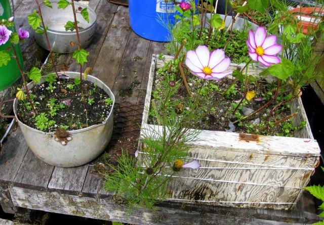 Butedale flowerpots