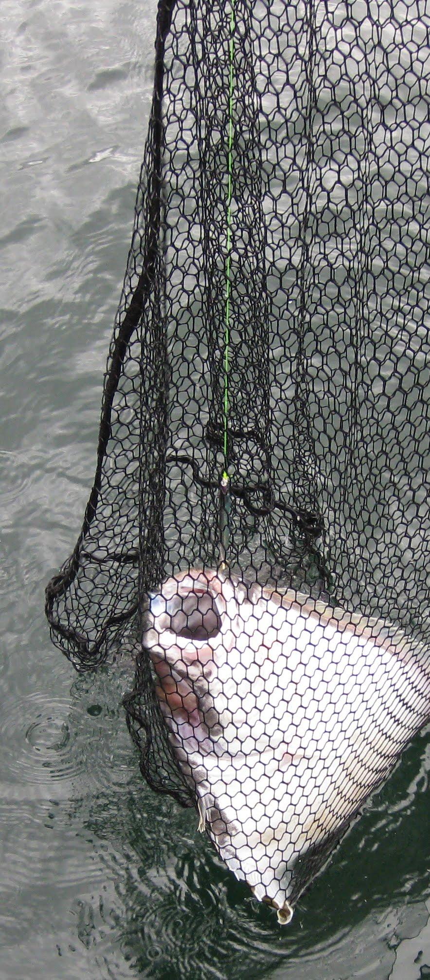 halibut 2