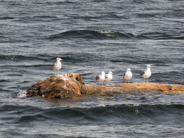 gulls on log
