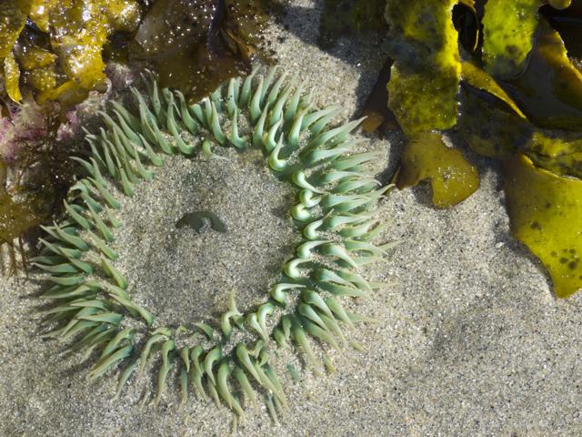 Hakai Beach anenome