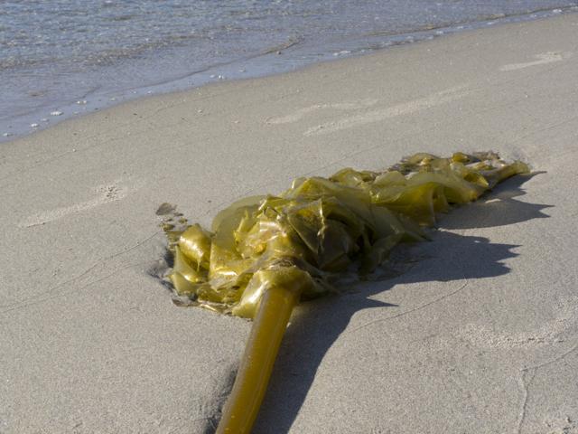 Hakai Beach kelp