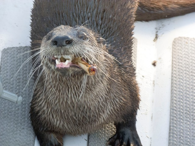 otter eating crab 1